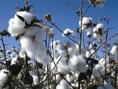 Apesar de aumento na produtividade, produção do algodão não irá superar volume da safra anterior